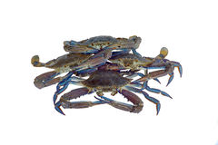 Blue swimmer crabs isolated Royalty Free Stock Photography