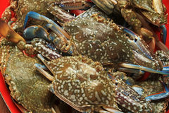 Blue swimming crab Royalty Free Stock Images