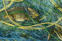Blue Swimming Crab caught in the fishing nets on the net near co. Ast at thailand stock image
