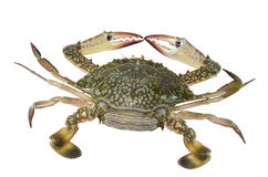 Blue Swimming Crab (female) Stock Image