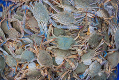 Blue swimming crab on the market. Royalty Free Stock Images