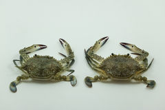 Blue swimming crab, two isolated on white background stock image