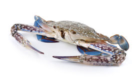 Blue Swimming Crabs on white background. Blue Swimming Crabs on a white background royalty free stock image
