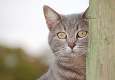 Blue tabby cat Royalty Free Stock Photos
