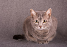 Blue tabby cat against gray background Royalty Free Stock Photos