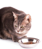 Blue tabby cat with bowl of food Royalty Free Stock Photos