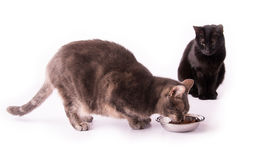 Blue tabby cat eating from a silver bowl Stock Images