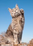 Blue tabby cat with her paw in the air Stock Image