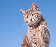 Blue tabby cat with her paw in the air Stock Photography