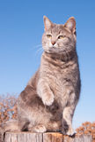 Blue tabby cat with her paw in the air Stock Photos