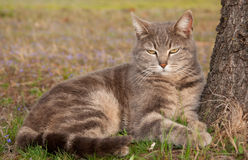 Blue tabby cat leaning on a tree Royalty Free Stock Image