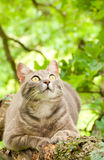 Blue tabby cat looking intently at prey Stock Photos