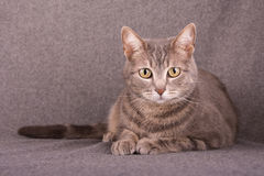 Blue tabby cat lying down Stock Images