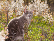 Blue tabby cat out in sunshine Stock Photography
