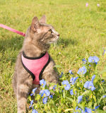 Blue tabby cat in pink harness and leash. Next to Asiatic Dayflowers Royalty Free Stock Photography