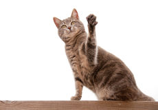 Blue tabby cat with a raised paw. On white royalty free stock photography