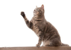 Blue tabby cat with a raised paw Stock Images