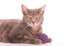 Blue tabby cat with a red and blue striped ball Royalty Free Stock Image