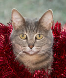 Blue tabby cat with red tinsel Stock Images