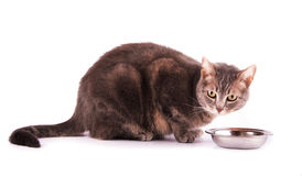 Blue tabby cat resting next to her food bowl. On white Stock Photos