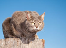 Blue tabby cat resting on top of a log Royalty Free Stock Image