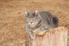 Blue tabby cat resting on top of a tree stump Royalty Free Stock Images
