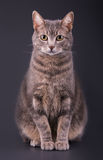 Blue tabby cat sitting against dark gray background Royalty Free Stock Images