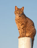 Blue tabby cat sitting on a fence post Stock Photo