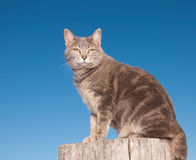 Blue tabby cat sitting on top of a log Royalty Free Stock Photo