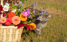 Blue tabby cat sniffing flowers Stock Photography
