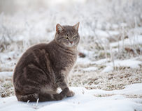 Blue tabby cat in snow Royalty Free Stock Images