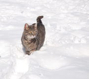 Blue tabby cat in snow Stock Photos