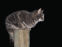 Blue tabby cat on top of a wooden fence post Royalty Free Stock Photos