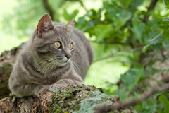 Blue tabby cat in a tree Royalty Free Stock Photos