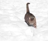 Blue tabby cat walking in deep snow Royalty Free Stock Photo