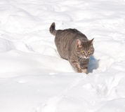 Blue tabby cat walking in snow Royalty Free Stock Photo