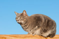 Blue tabby cat on wooden railing Royalty Free Stock Photography
