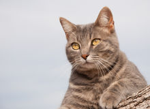 Blue tabby kitty cat resting on a log Royalty Free Stock Image