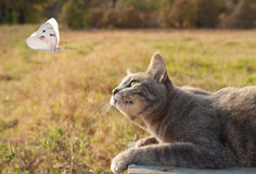 Blue tabby kitty cat watching a white butterfly. In flight stock photography