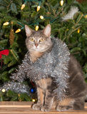 Blue tabby with silver tinsel Stock Photo