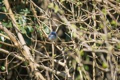 Blue Tacuarita - masked gnatcatcher, Azul-gnatcatcher (caerulea del Polioptila) Royalty Free Stock Photo