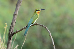 Blue-tail bee-eater Royalty Free Stock Photo