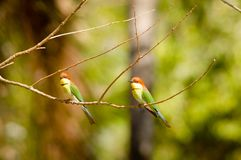 Blue tail bee eater in bali national park Stock Photo