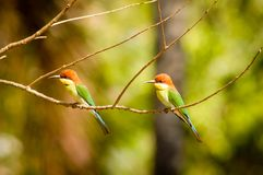 Blue tail bee eater in bali national park Royalty Free Stock Photos