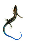 Blue tail skink lizard Stock Photo