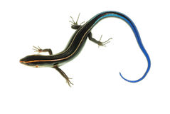 Blue tail skink lizard Stock Images
