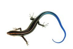 Blue tail skink lizard Royalty Free Stock Photo