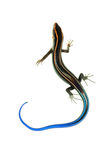 Blue tail skink lizard Royalty Free Stock Photography