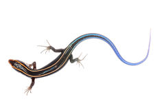 Blue tail skink lizard Royalty Free Stock Photos