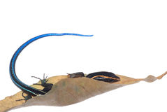 Blue tail skink lizard Royalty Free Stock Photos